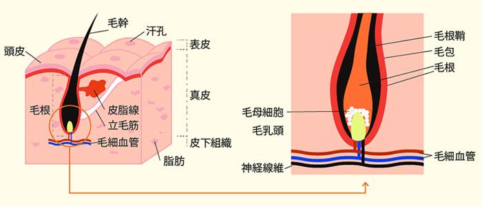 ③毛母細胞の活性化 イメージ